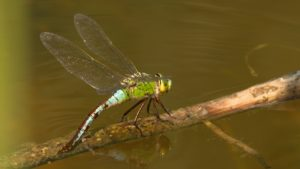 The Emperor Dragonfly